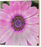 Pale Purple Flower Wood Print