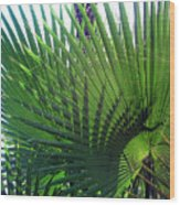 Palm Tree, Big Leafs Wood Print
