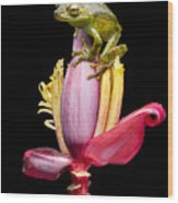 Palm Treefrog On A Banana Flower Wood Print