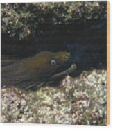 Panamic Green Eel Hides In Reef Wood Print by James Forte