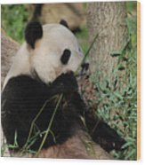 Panda Bear Smelling His Bamboo Before Eating It Wood Print