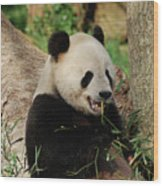 Panda Bear With Teeth Showing While He Was Eating Bamboo Wood Print