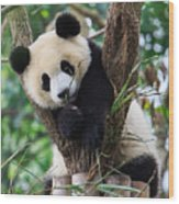 Panda Cub Resting On Tree Wood Print