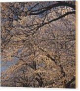 Panorama Of Forest Of Sakura Japanese Flowering Cherry Trees Wit Wood Print