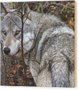 Panoramic Gray Wolf Yukon Wood Print