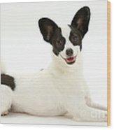 Papillon X Jack Russell Terrier Dog Wood Print