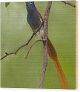 Paradise Flycatcher Wood Print