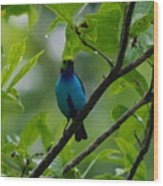 Paradise Tanager Wood Print