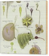 Parasites And Insectivorous Plants Wood Print