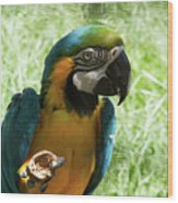 Parrot Eating Nut Wood Print