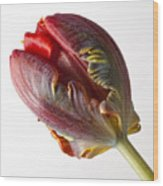 Parrot Tulip 1 Wood Print by Robert Ullmann