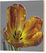Parrot Tulip 22 Wood Print by Robert Ullmann