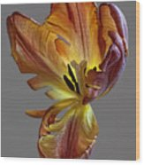 Parrot Tulip 23 Wood Print