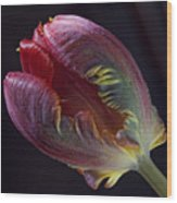 Parrot Tulip 5 Wood Print by Robert Ullmann