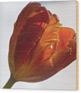 Parrot Tulips 19 Wood Print by Robert Ullmann