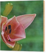 Partially Open Pink Lily Blossom Wood Print