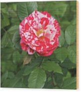 Party Rose #3 Wood Print