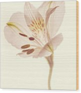 Pasae Alstroemeria By Flower Photographer David Perry Lawrence Wood Print