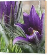 Pasque Flower Duo Wood Print