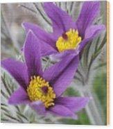 Pasque Flower Friends Wood Print