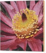 Pasque Flower Macro Wood Print