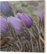Pasque Flower Watercolor Wood Print