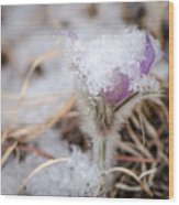 Pasqueflower In The Snow Wood Print