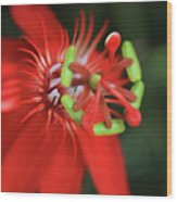Passiflora Vitifolia Scarlet Red Passion Flower Wood Print