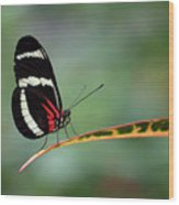 Passion-vine Butterfly 2017 Wood Print