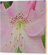 Pastel Pink  Azalea Wood Print