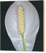 Peace Lily In Flower. Wood Print
