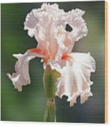 Peach Bearded Iris 2 Wood Print