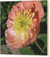 Peach Colored Poppy Wood Print