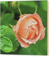 Peach Rose In The Rain Wood Print