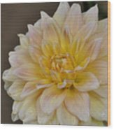 Peaches And Cream Dahlia Wood Print