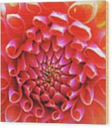 Peachy Dahlia Wood Print