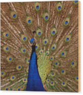 Peacock 01 Wood Print