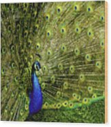 Peacock At Frankenmuth Michigan Wood Print
