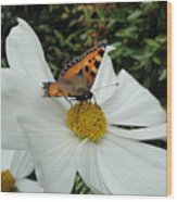 Peacock Butterfly On Cosmos Wood Print