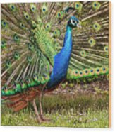 Peacock In Beacon Hill Park Wood Print