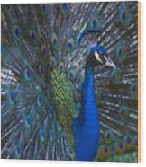 Peacock Splendor Wood Print