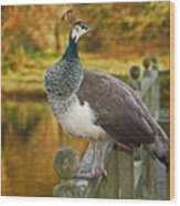 Peahen In Autumn Wood Print