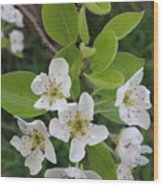 Pear Blossoms In Full Bloom Wood Print
