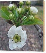 Pear Tree Blossom 3 Wood Print