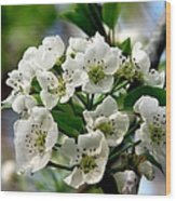 Pear Tree Blossoms 1 Wood Print