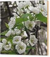 Pear Tree Blossoms 2 Wood Print