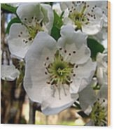 Pear Tree Blossoms 3 Wood Print