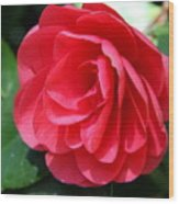 Pearl Of Beauty - Red Camellia Wood Print