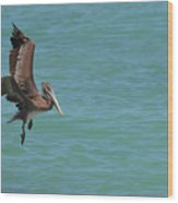 Pelican Contemplating A Water Landing In Aruba Wood Print