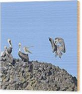 Pelican Landing On A Rock Wood Print